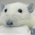 A la búsqueda de la rata perfecta