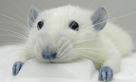 rata-laboratorio
