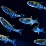 """El """"pez cebra"""", un nuevo modelo para la enfermedad de Alzheimer"""