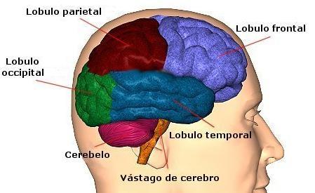 partes_del_cerebro